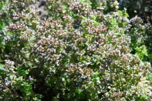 Golden Origanum